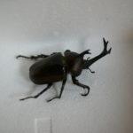 ある朝のデカイカブトムシ